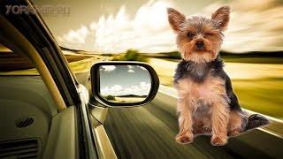 Как перевозить собаку в машине | Безопасность.