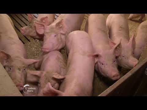 Farma svinja u Sremskoj Mitrovici - U nasem ataru 711