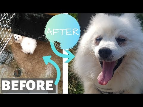 We RESCUED A DOG in Japan!: Puppy Mill Dog Before and After!