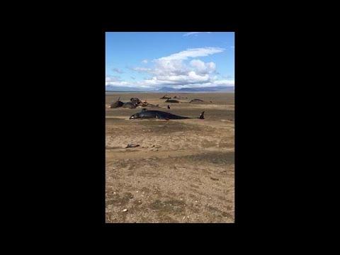 شاهد:  نفوق 50 حوتا غرب أيسلندا  - نشر قبل 4 ساعة