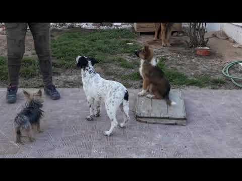 بداية العمل مع أطلس عمرو 3 أشهر كلب عربي توانسة صافى dressage de chien tunisie