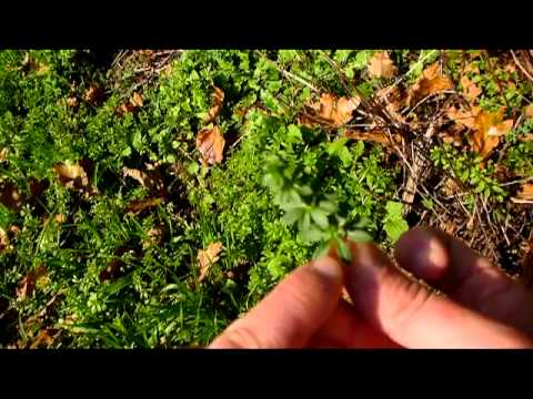 Bushcraft les plantes sauvages comestibles survie for Les plantes