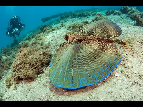 FLYING GURNARD. (Dactylopterus).
