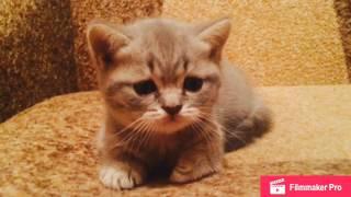 Котята от голубой британской кошки и кота окраса вискас