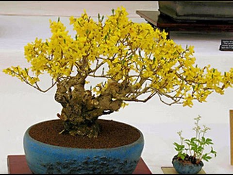 Forsythia as Bonsai