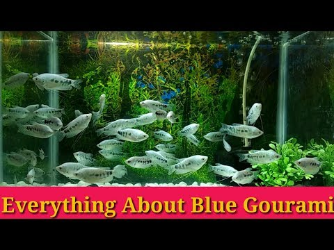 Everything About Blue Gourami