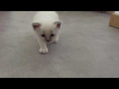 The most cute race with a baby Birman cat