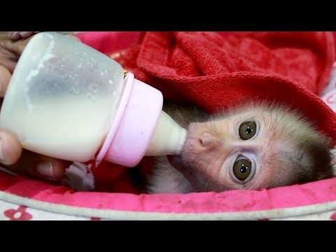 Baby Monkey| Mom Give Monkey Lyly Drink Milk And Sleep On Pillow Bed