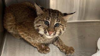 New bobcat kitten