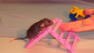 Дрессированная крыса выполняет трюки