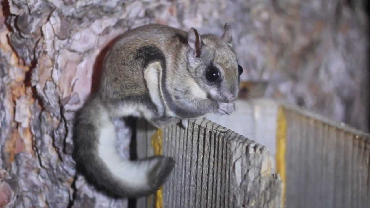 Northern Flying Squirrels - YouTube