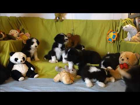 BEARDED COLLIE GREMONTREE - Jodie's litter 10 Let's take a picture