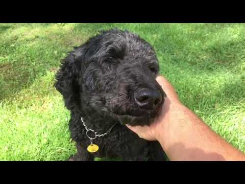 Reuben the Standard Poodle turns 9!