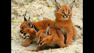 Strange Wild Cat Called A Caracal Might Just Be The Cutest Animal In The World