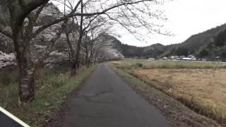 川浦川の桜 2015 伊深町編