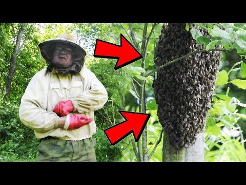 Beekeeping. How to catch bees? Fishing of swarms.
