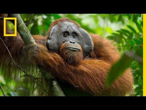A Rare Look At The Secret Life Of Orangutans | Short Film Showcase