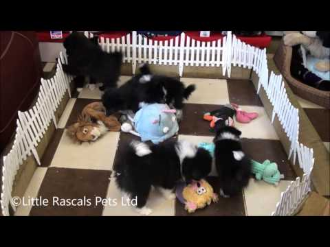 Little Rascals Uk breeders New litter of Japanese Spitz cross puppies