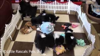 Little Rascals Uk Breeders New Litter Of Japanese Spitz Cross Puppies