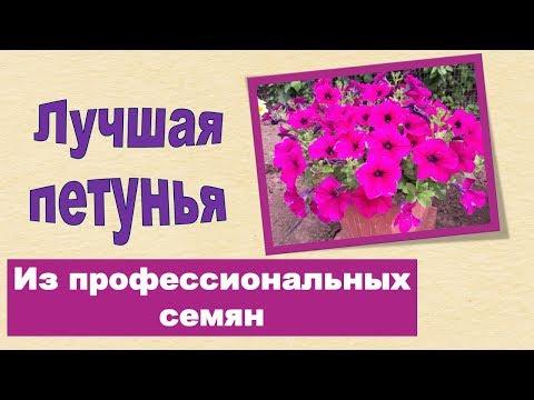 Лучшая петунья цветет все лето ,профессиональные семена.