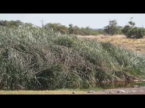 P6131493   Wolk van vogeltjes Etosha NP