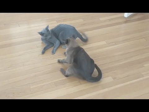 Russian Blue Lena and Burmese Matilda have a small argument, Matilda wants to go out