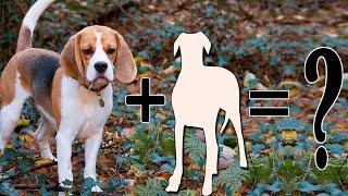 Top 9 Unreal Beagle Cross Breeds: Beagle Mixes | Beagle cross breed