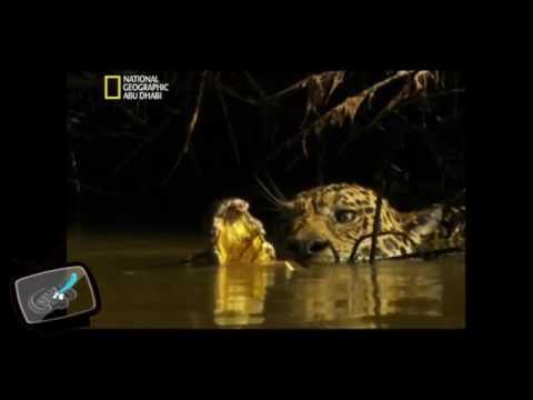 نمر الجاكور يفترس تمساح بطريقة عجيبه