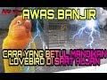 Awas Banjir Lovebird Mandi Air Hujan  Mp3 - Mp4 Download