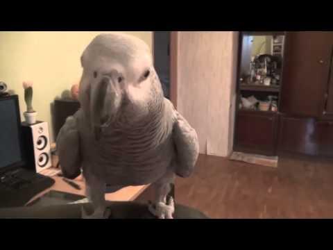 я кукарача-поют попугаи!