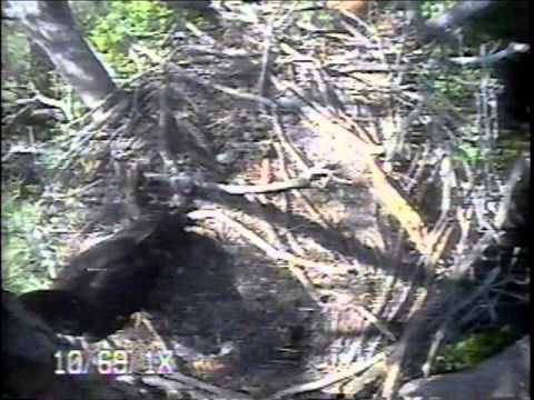 Two Branching Eaglets on the Blackwater Eagle Cam - May 17, 2014