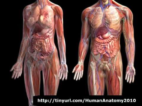 Human Anatomy Physiology Human Anatomy Body Youtube