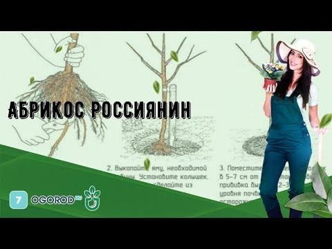Абрикос Россиянин