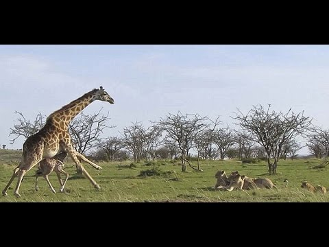 Thumbnail: Giraffe vs Lion pride Giraffe kicks and attacks lions to save baby