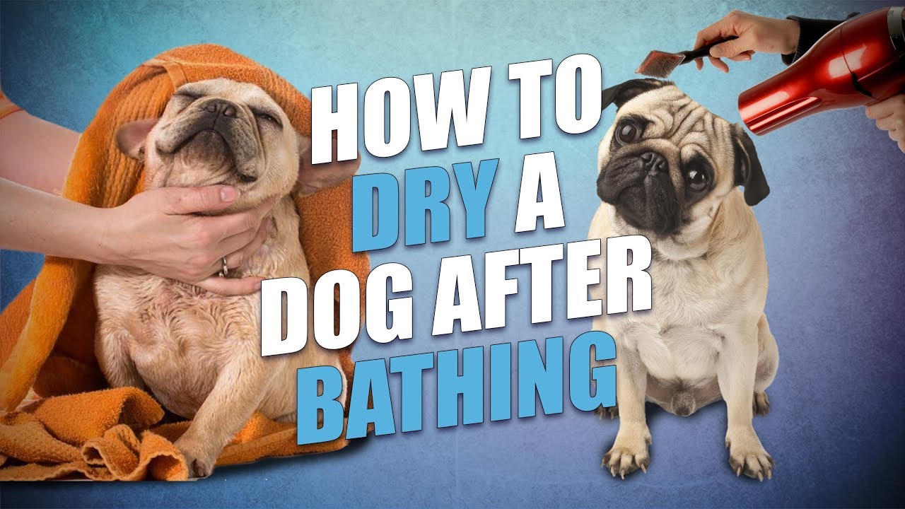 How To Dry A Dog After Bathing Quick And Hassle Free Way Youtube