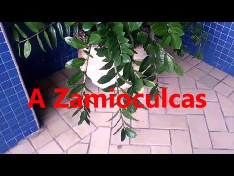 Vote no on la plante zz ou zamioculcas for Zamioculcas cura