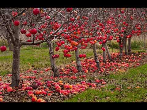 КАК ПОДГОТОВИТЬ ЯБЛОНЮ К ЗИМЕправила ухода за яблоней от А до Я