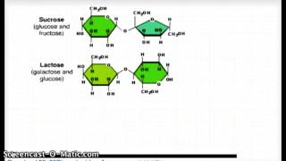 Formation of Disaccharides by Dehydration Synthesis reaction