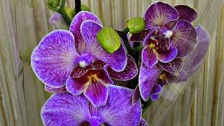 ОРХИДЕИ БУДУТ ЦВЕСТИ ДОЛГО если после покупки... орхидеи ОБЗОР!!!!