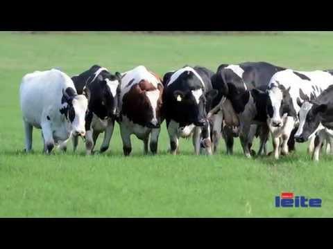Revista Mundo do Leite: recria de fêmeas leiteiras faz toda diferença