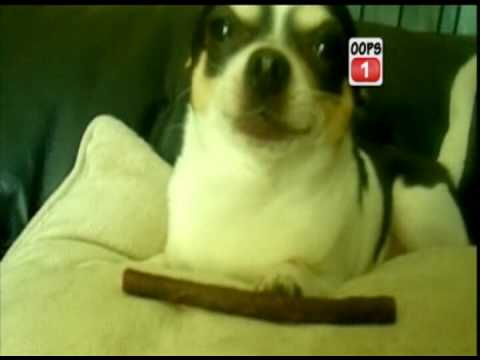 Pablo The Chihuahua On TV!