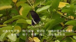 茄萣濕地水生昆蟲系-玉帶鳳蝶