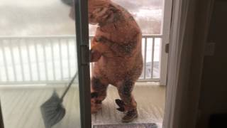 T-rex tries to go shovel snow in a blizzard (raw footage!)