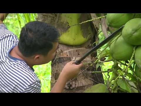 """Special """"Buko"""" Coconut Tree in the PHILIPPINES coconut high harvest"""