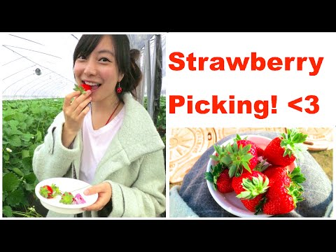 Picking Organic Strawberries in Naruto, Japan