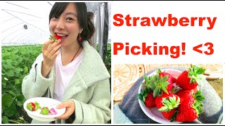 Picking Organic Strawberries in Naruto, Japan