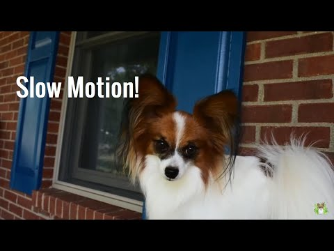 Percy the Papillon Dog: Funny Slow Motion Dog