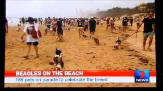 Beagle Club Of Qld - Beagles Across Australia - Sunday 7th December 2014
