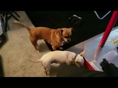Weenie Chihuahua Playing with Sausage lol (Las Vegas, NV)