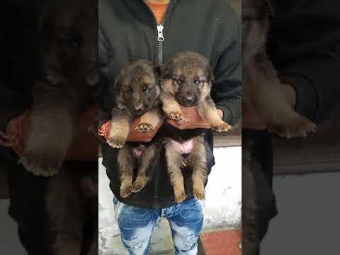 Pet Care - Dual Coat German Shepherd Puppies male for sale in Lucknow Patna Bihar Dehradun Mumbai